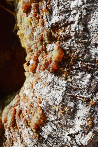 Sap from pine tree Tree Wood Close-up Day Nature No People Outdoors Rough Textured