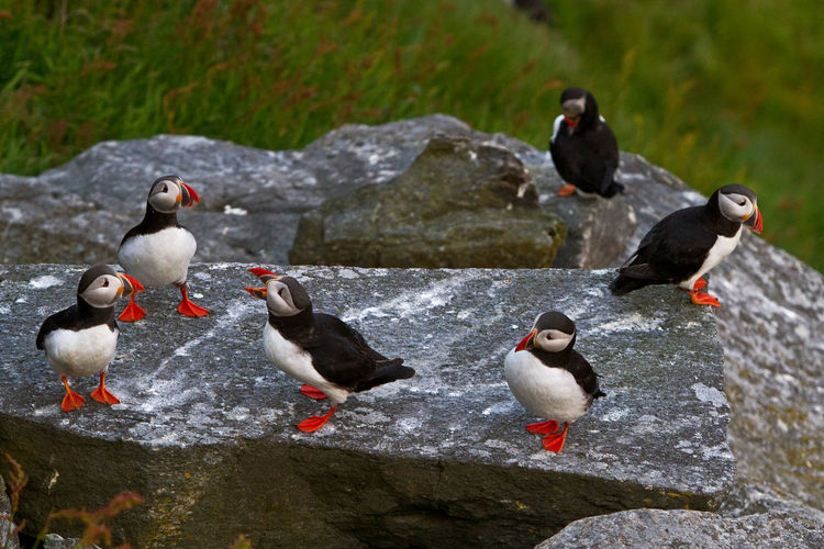 Rare view of atlantic puffin on rock