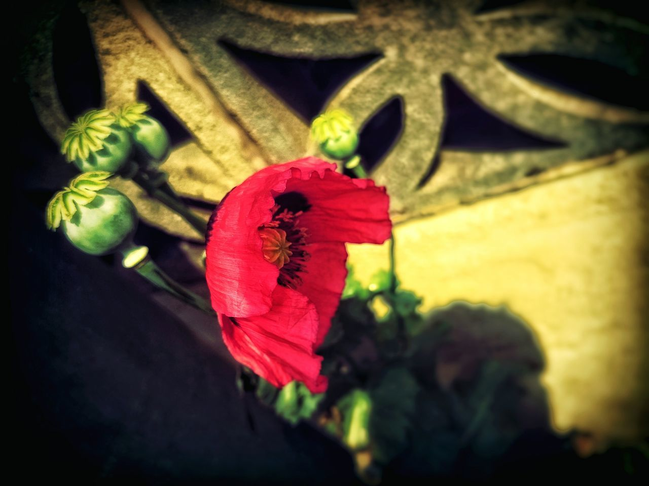 flower, petal, red, fragility, flower head, no people, beauty in nature, nature, poppy, freshness, close-up, plant, growth, hibiscus, day, outdoors