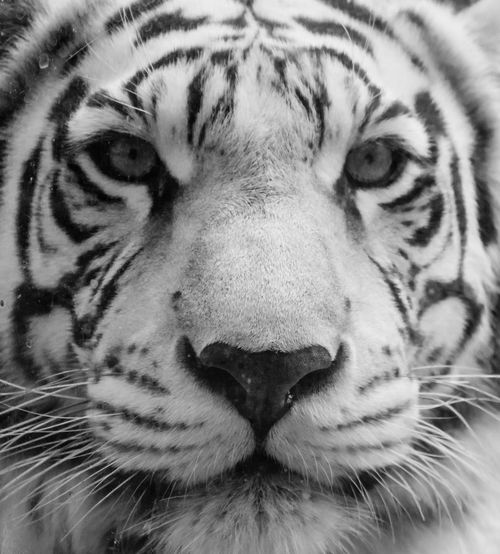 Animal Head  Animal Markings Animal Themes Animal Wildlife Animals In The Wild Close-up Day Endangered Species Feline Leopard Looking At Camera Mammal Nature No People One Animal Outdoors Portrait Safari Animals Tiger Whisker White Tiger