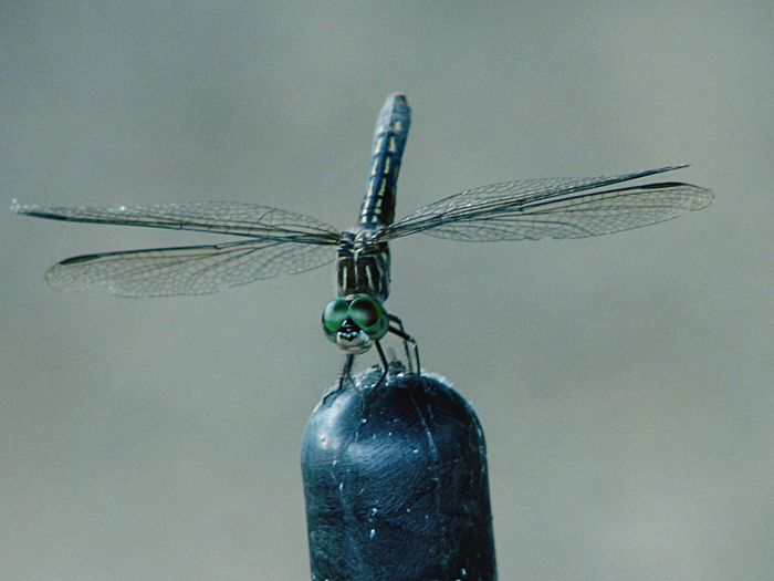 Dragonfly on a tip of a plough guide stick.