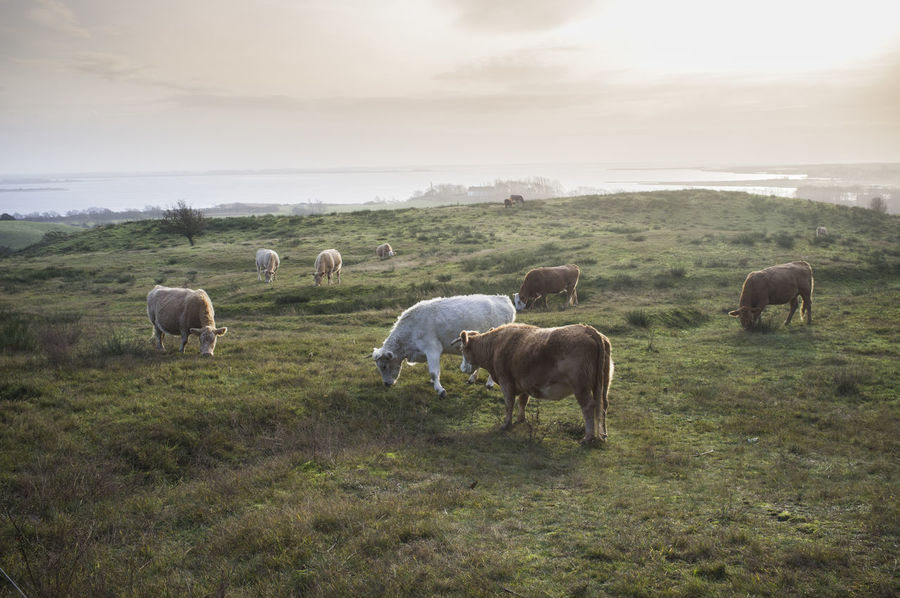 Panoramic view on cows grazing on the island of Hiddensee located west of Rügen, Germany Against The Light Baltic Sea Beauty In Nature Cows Grazing Farm Life Farmlandscape Grasslands Hiddensee 2014 Islandlife Landscape_photography Nature Photography Panoramic View Panoramic Viewes Peace And Quiet Wintertime