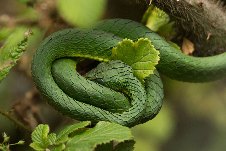 Close-up of green viper on branch in forest