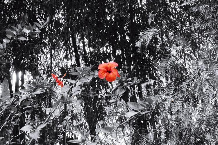 Un joli contraste sur ces deux belles fleurs d'hibiscus Red Color Black And White Photography Hibiscus Flower La Bambouseraie Anduze Holiday Memories South France