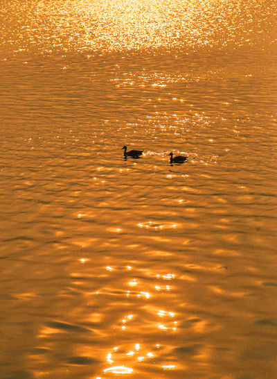 Silhouette ducks swimming in sea during sunset