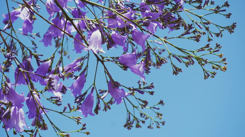 Jacaranda Flower Flowering Plant Bignoniaceae Purple Flower Sky Tree Branch Close-up Clear Sky Outdoors Beauty Blossom Blue Nature Beauty In Nature Fragility Low Angle View Freshness Day Western Australia