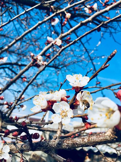 Bee 🐝 Plant Tree Branch Flower Flowering Plant Fragility Springtime Beauty In Nature Low Angle View Vulnerability  No People Blue Freshness Sky Close-up Blossom Growth Nature Day Cherry Blossom