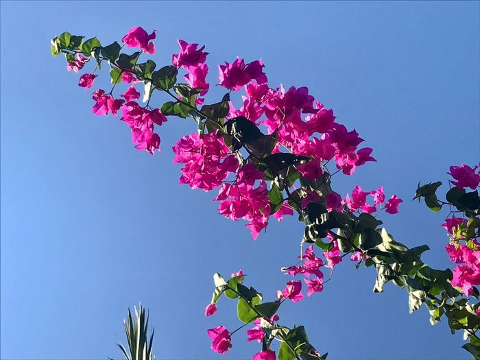 Low angle view of pink flowering tree against clear blue sky