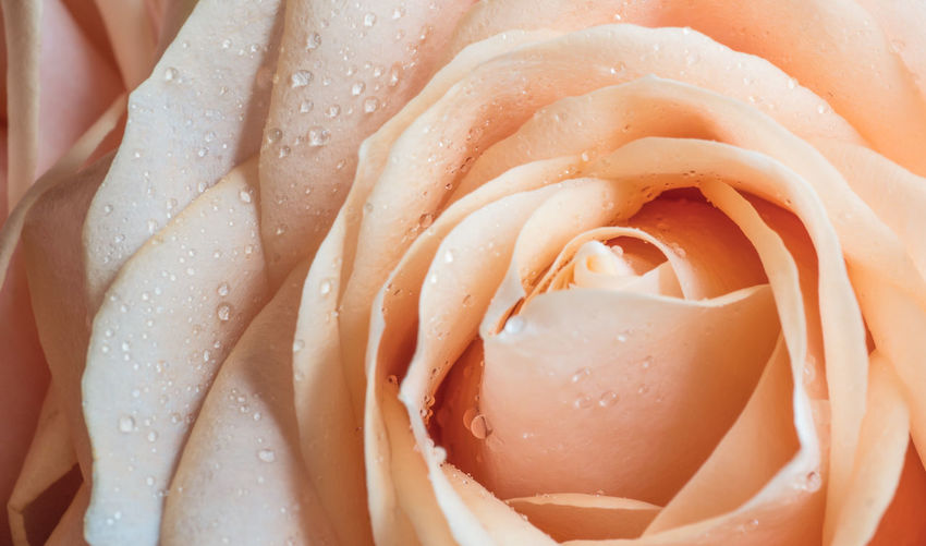 Close-up Full Frame Freshness Water Backgrounds Wet Flower Rosé Drop Flowering Plant Rose - Flower No People Inflorescence Beauty In Nature Petal Flower Head Vulnerability  Fragility Plant Dew RainDrop