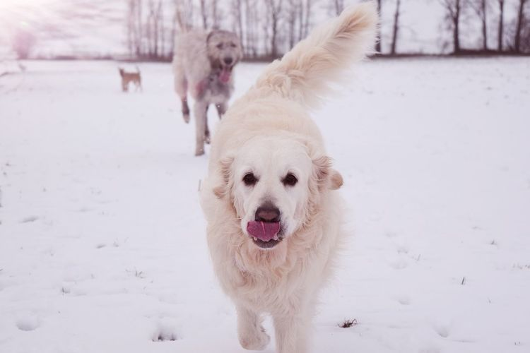 Winter Snow Cold Temperature Pets Animal Themes Weather Outdoors Portrait Close-up Fieldscape Running Cearnaigh Irish Wolfhound Dogslife Dogs Of EyeEm Dog Of The Day Dogwalk Dogs Of Winter Wartberg Winter 2017 How's The Weather Today? January 2017 Domestic Animals Togetherness