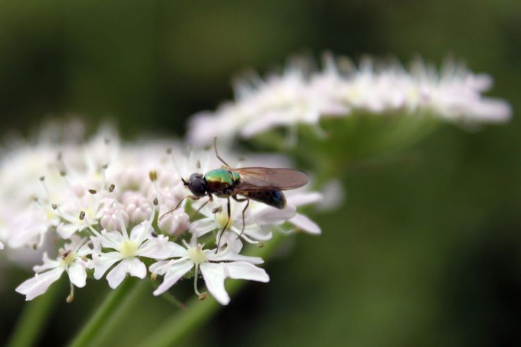 Close-up of fly on white flowers