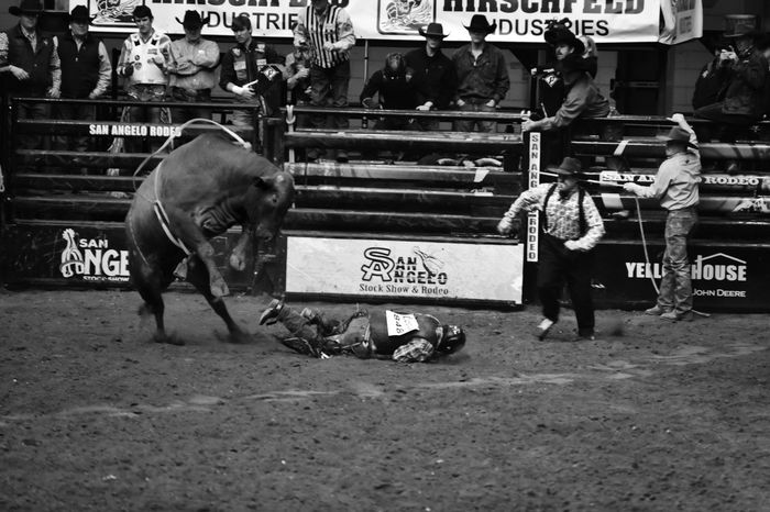 Animal Themes Livestock Black And White Collection! Bull Riding/rodeo Eyeemphotography EyeEm Gallery San Angelo Texas Black & White Photography Rodeo Texas Photographer This Week On Eyeem Rodeotime Rodeo Clown