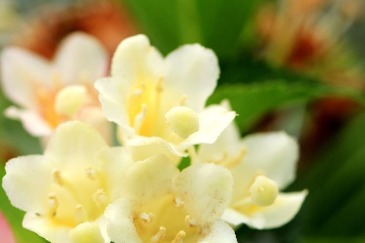 Weigela ハコネウツギ Macro Photography 野草 Wildflower Flower Flower Head Fruit Close-up Sweet Food Food And Drink In Bloom