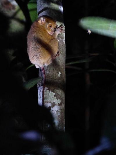 Kinabatangan Traveling Malaysia Backpacking Travel Borneo Animals Bigeyes Monkey Jungle
