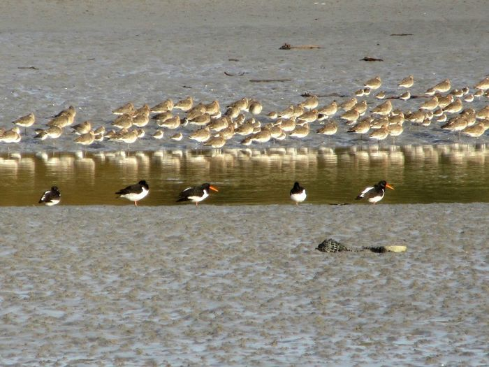 Birds on a mudflat Birds Wading Bird Mudflats Mudflat Tidesout River Reflections Clonakilty  West Cork Wildatlanticway Ireland