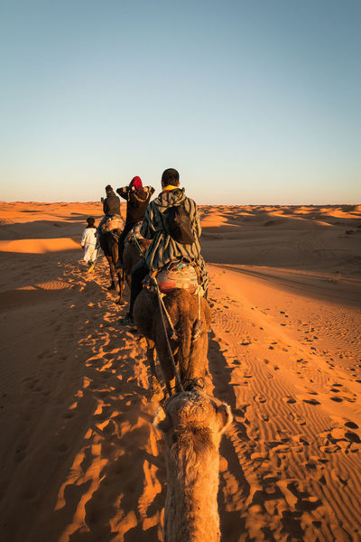 camel trekking into the sahara desert Tourist Arid Climate Camel Trekking Clear Sky Climate Copy Space Desert Environment Group Of People Land Landscape Lifestyles Men Nature Outdoors People Real People Rear View Sand Sand Dune Scenics - Nature Sky Sunlight Tourism Uniform