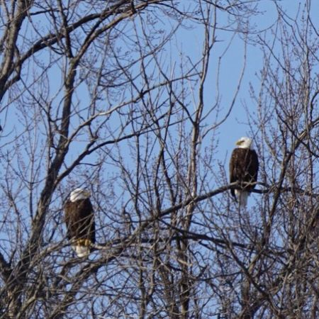Eagles Bald Eagles Blue Sky America USA Bird '#anthem Noble Robust Commanding Glorious Untamed Majestic Honor