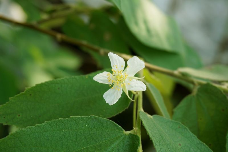 Agriculture Flacourtiaceae Muntingia Calabura Beauty In Nature Bloom Blooming Blossom Close-up Day Flacourtia Rukam Flora Floral Flower Flower Head Foliage Fragility Freshness Green Color Growth Indian Plum Jamaican Cherry Leaf Leaves Nature No People Outdoors Petal Plant Pollen White