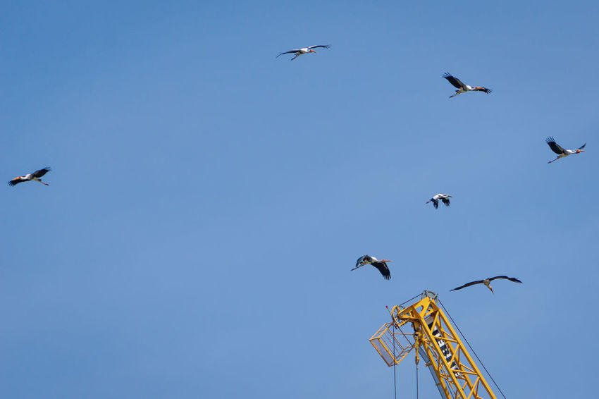 """Happy blue skies"" - 6 painted storks and an Asian openbill soaring above the industrial crane. Painted Stork Stork In Flight Asian Openbill Mycteria Leucocephala Flying Painted Stork Birds In The Sky Nature Is My Best Friend Birding Bird Watching Birds Of EyeEm  EyeEm Thailand EyeEm Nature Lover Check This Out Flying Birds Spectacular View Magic Moments Ciconiiformes Ciconiidae Bird Flying Spread Wings Blue Clear Sky Sky Animal Themes Stork Flock Of Birds Large Group Of Animals Freshwater Bird Flapping"