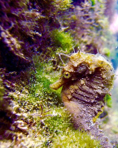 Close up seahorse <3 Diving No People Black Sea Animals In The Wild Zoology Hippocampus Guttulatus Depths Blue Water Outdoors Beauty In Nature Close-up Fresh On Eyeem