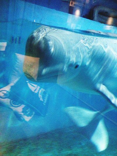 Beluga White Whale Cute Lovely Ocean I love them so much!