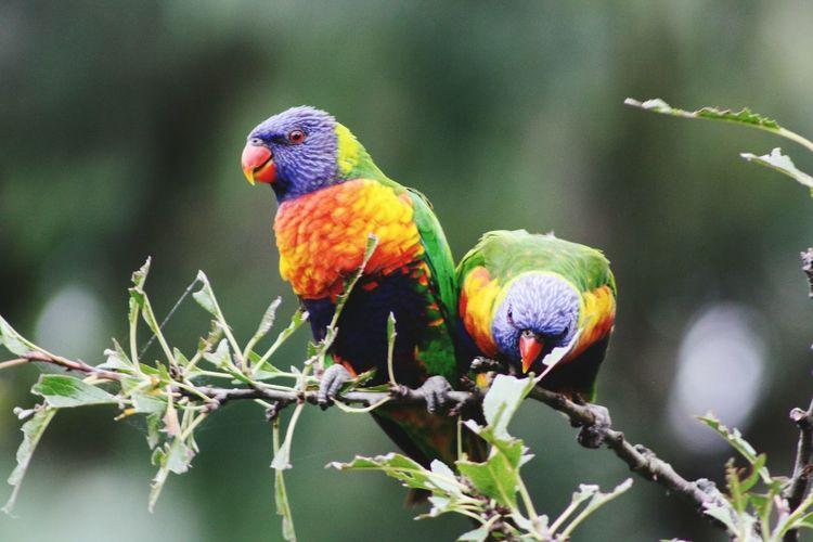 Australia Rainbowlorikeet Colours Bird Photography Bird