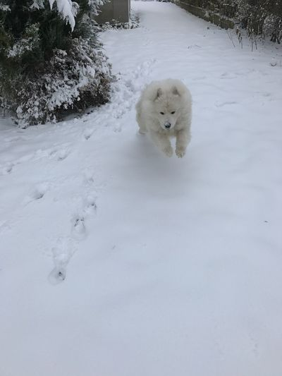 Samoyed Snow White Color Outdoors Animal Themes Run