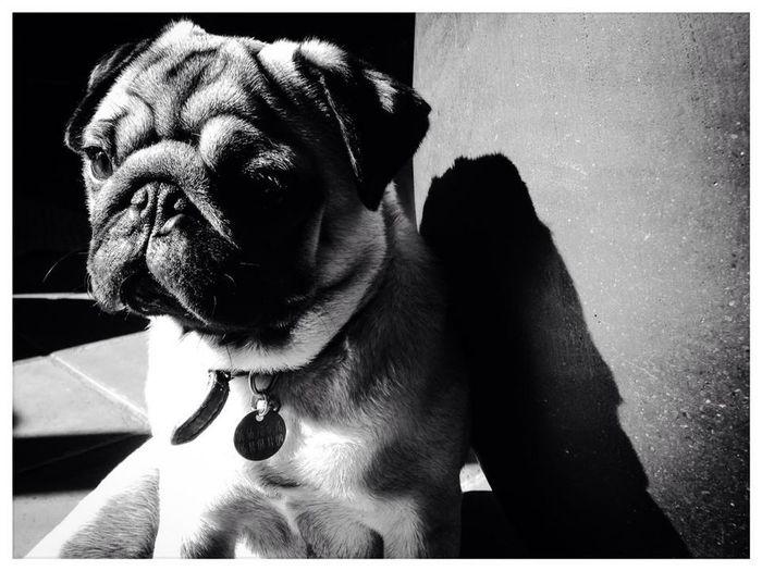 Pug Carlin Dog Blackandwhite Noir Et Blanc Pet Portraits