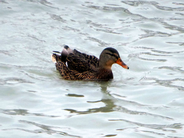 Stormy Weather Animals In The Wild Swimming Brrrrrrrrr❄❄❄❄ Animal Wildlife Cold Outside ❄⛄  Beauty In Winter😍 Waiting For Spring😎 For My Friends 😍😘🎁 Enjoy The Little Things Longing For Sunshine Tranquil Scene duck Swimming Duck