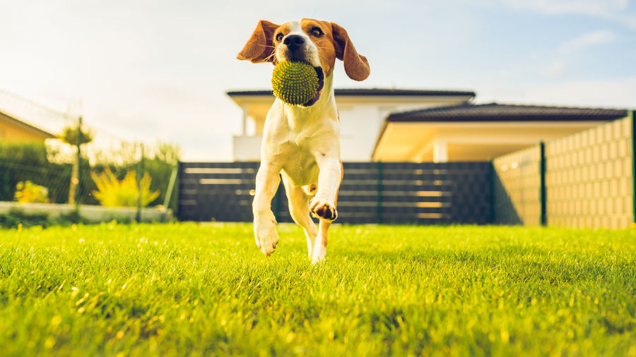 Dog with ball playing in yard