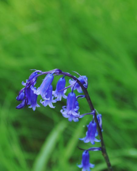 Bluebell Glockenblume Glendurgan Blue And Green Spring Garden British Springtime Great Gardens Of Cornwall British Spring Time Flower Purple Petal Fragility Beauty In Nature Nature Growth Iris - Plant Blooming Close-up