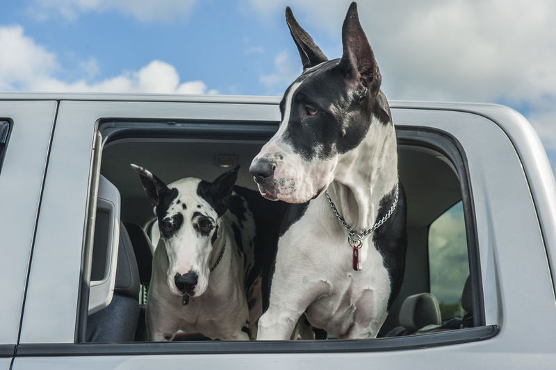 Close-Up Of Dogs In Car