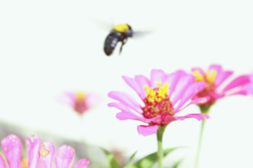 Little Bee Little Bee Bee Flower Nature Pink Color Fragility Insect Petal No People Shades Of Winter EyeEmNewHere Business Stories