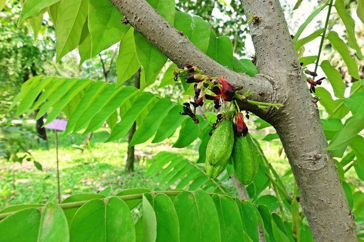 Bilimbi, fruit and flowers Tree Plant Nature Branch Outdoors Green Color Sour Flower Tree Fruit Tropical Bilimbi Cucumber Tree Bilimbing Ingredient First Eyeem Photo