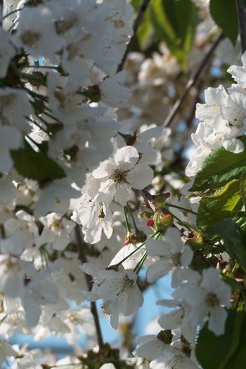 Flowering Plant Flower Plant Fragility Growth Vulnerability  Beauty In Nature Freshness Petal White Color Blossom Tree Nature Day Close-up Springtime No People Flower Head Branch Cherry Blossom Outdoors Cherry Tree Spring