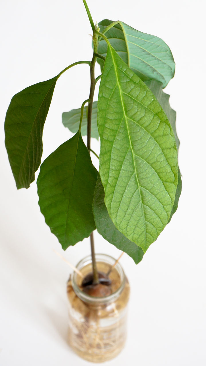 CLOSE-UP OF POTTED PLANT LEAVES AGAINST WHITE BACKGROUND