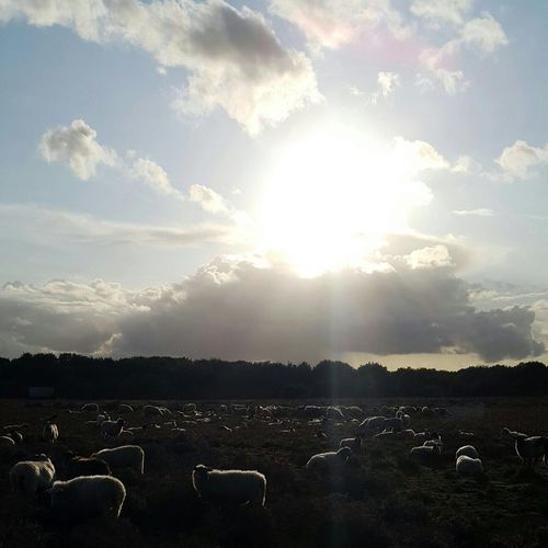 Sheep in sunset