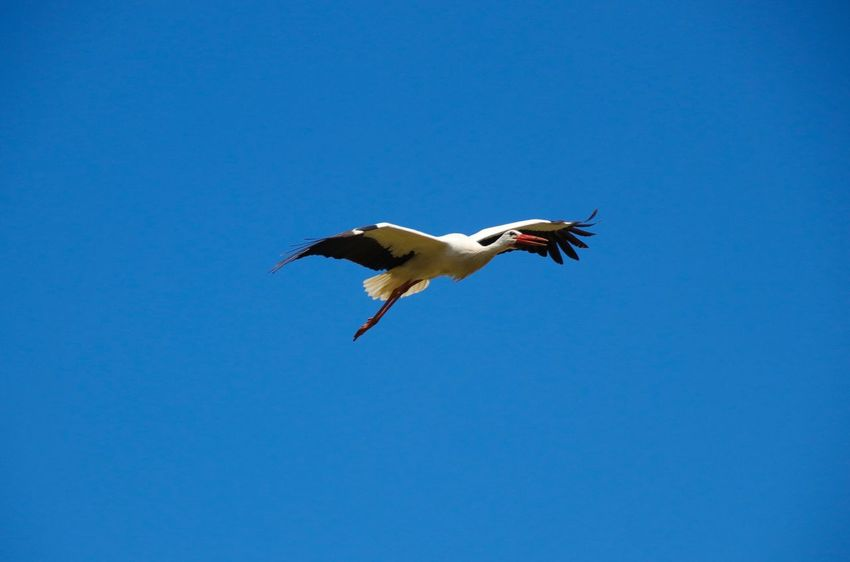 Another one on it's way Copyspace Copy Space White Stork Flying Animal Themes Animal Animals In The Wild One Animal Animal Wildlife Bird Vertebrate Blue Spread Wings Sky Mid-air Copy Space Animal Body Part
