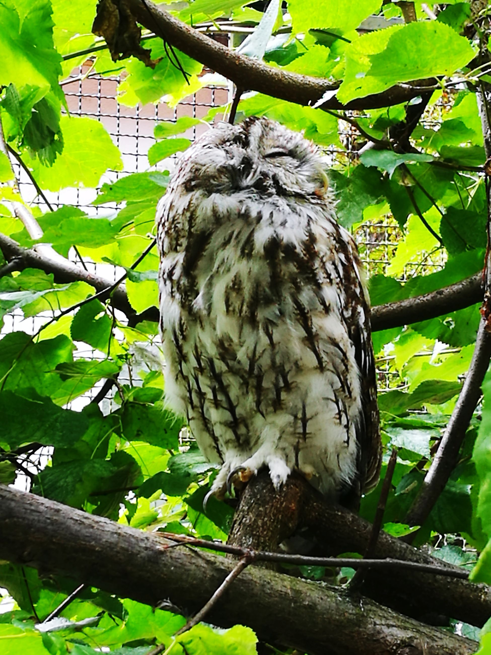 bird, animal themes, one animal, animals in the wild, branch, tree, animal wildlife, bird of prey, perching, nature, low angle view, day, no people, outdoors, leaf, close-up, full length, owl, beauty in nature