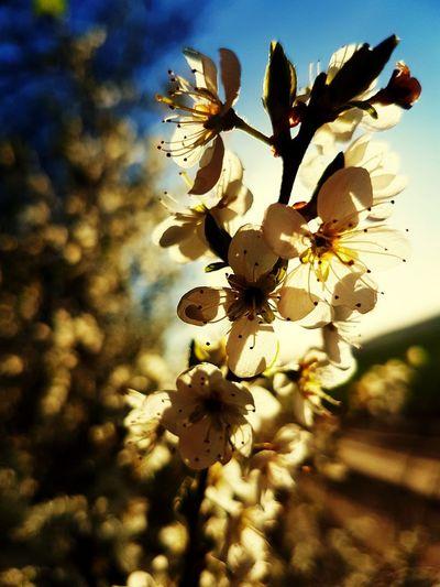 White White Flower Spring Flower Head Flower Tree Springtime Sunlight Petal Clear Sky Sky Close-up Plant Stamen Plant Life Blossom In Bloom Cherry Blossom Visual Creativity EyeEmNewHere Summer Exploratorium