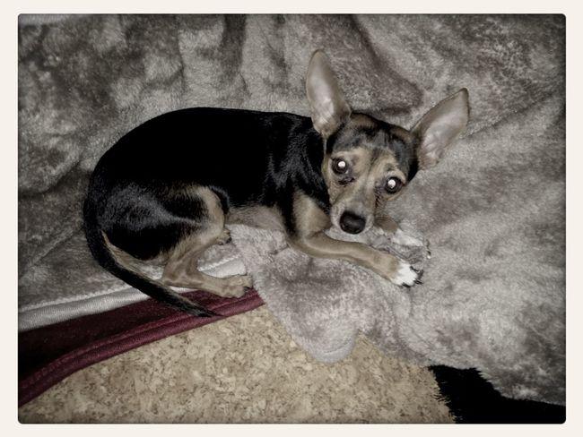 Dog Chiuaua Cute Pet