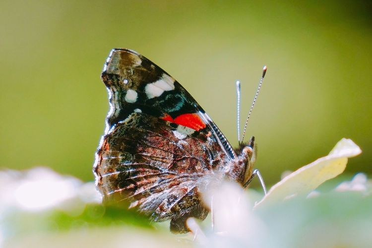 Insect One Animal Animal Themes Animals In The Wild Close-up Butterfly - Insect Nature No People Butterfly Animal Wildlife Day Outdoors Fragility Freshness Perching