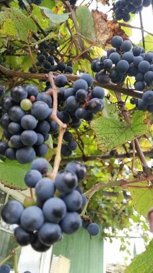 Fruit Winemaking Agriculture Red Grape Grape Vineyard Bunch Growth Close-up Juicy Nature Vine Food And Drink Wine Winery Freshness Leaf Outdoors No People Day