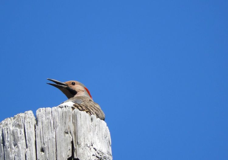 Bird perching on wooden post against clear blue sky