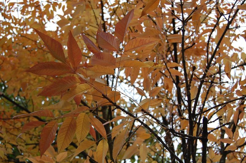 Autumn Beauty In Nature Branch Branches Change Close-up Growth Leaf Leaves Natural Condition No People Outdoors Season  Tree Tree Canopy  Vibrant Color