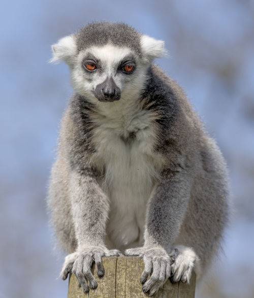 Lemur on post. Nature Blue Sky Closeup Colourful Eyes Fur Grey Lemur Looking Into Lens Mammal No People On Posts Saturday Wild Wildlife