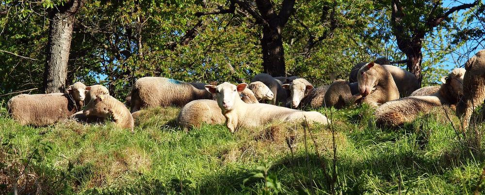 Natürliche Schafzucht im Bergland Biology Ecologically Field Grass Landscape Nature Nature Natürlich No People Outdoors Plant Schafe Shapes Tree Weide Wildlife & Nature Wool ökologisch