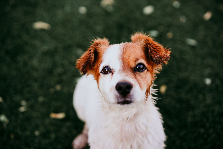 Portrait of cute jack russell dog smiling outdoors sitting on the grass, summer time