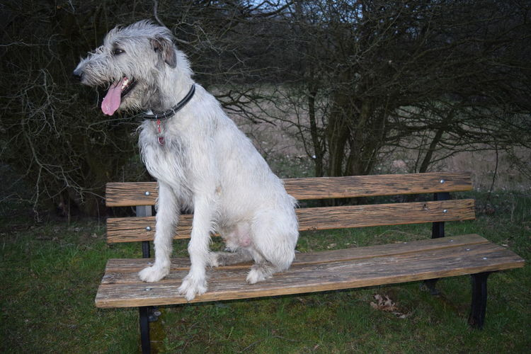 Benches_Of_The_World_Unite One Animal Animal Themes Domestic Animals Wood - Material Sitting March 2017 Winter 2017 Dogs Of Winter Dog Of The Day Dogs Of EyeEm Dogwalk Dogslife Cearnaigh Irish Wolfhound Herrenkrugpark The Places ı've Been Today Take A Walk In The Park Portrait