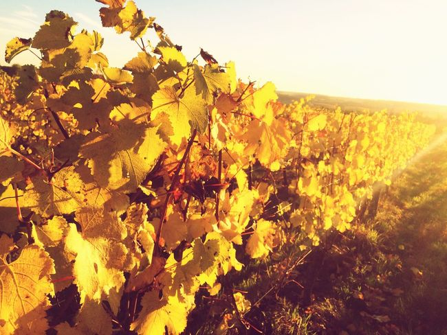 Autumn Autumn Colors Vineyard Autumn Leaves Yellow
